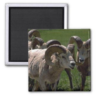 Grupo de espolones de las ovejas de Bighorn Imanes De Nevera