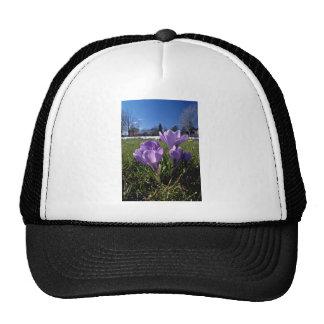 Grupo de flores de las azafranes gorros