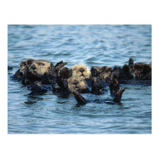 Grupo de nutrias de mar postal