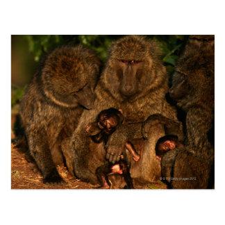 Grupo de observación verde oliva de los babuinos postales