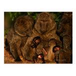 Grupo de observación verde oliva de los babuinos ( tarjeta postal