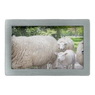 Grupo de ovejas blancas y de cordero en el camino hebillas de cinturón rectangulares