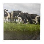 Grupo de vacas frisias azulejos
