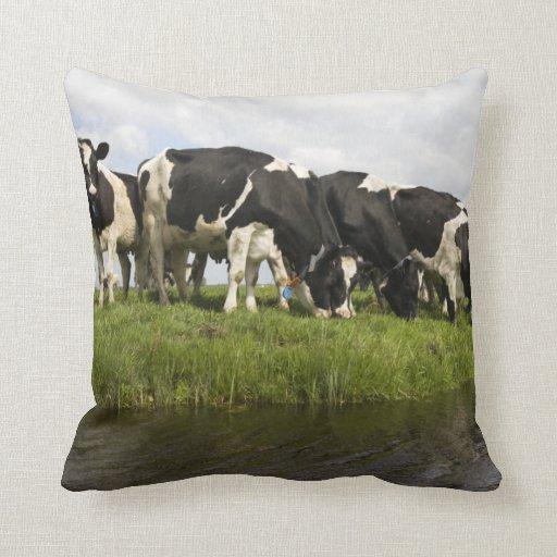 Grupo de vacas frisias cojin