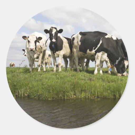 Grupo de vacas frisias pegatinas redondas