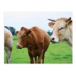 Grupo de vacas postal