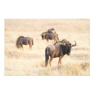 Grupo de wildebeest fotografías