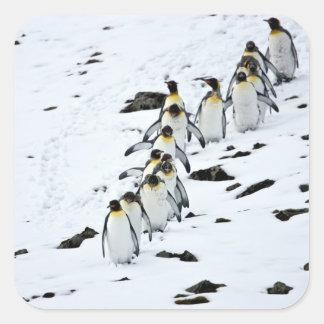 Grupo del patagonicus del Aptenodytes de rey pingü Pegatinas Cuadradas Personalizadas