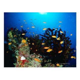 Grupo grande de natación de los pescados de Goldie Tarjetas Postales