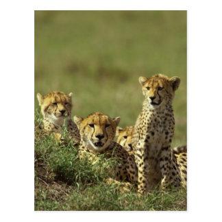Grupo joven del guepardo postal