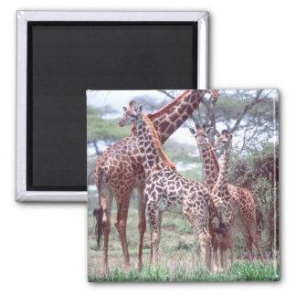 Grupo o manada de la jirafa con los jóvenes, Giraf Imán Cuadrado