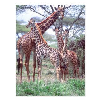 Grupo o manada de la jirafa con los jóvenes, postales