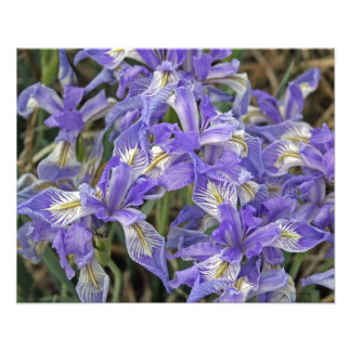 Grupo salvaje del iris de las flores 16x20 impresiones fotograficas