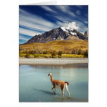 Guanaco crossing the river in Torres del Paine Card