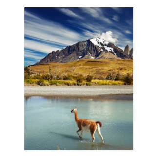 Guanaco crossing the river in Torres del Paine Postcard