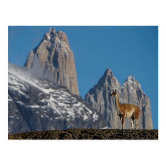 Guanaco in Torres del Paine | Chile Postcard
