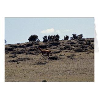 Guanaco (Lama guanicoe) Card
