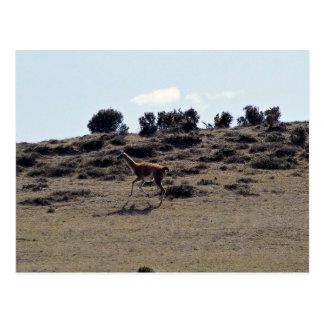 Guanaco (Lama guanicoe) Postcard