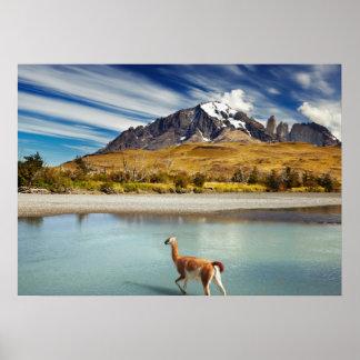 Guanaco que cruza el río en Torres del Paine Posters