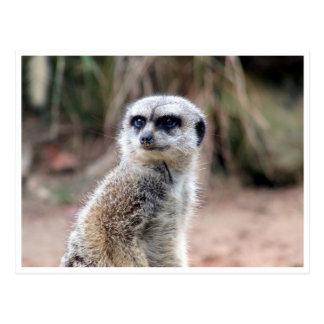 guardia del meerkat postal