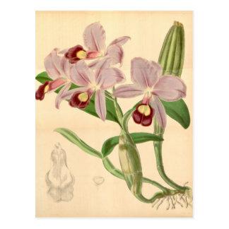 Guarianthe skinneri (as Cattleya skinneri) Postcard