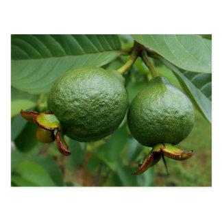Guavas Postcard