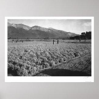 Guayule Field 1943 Poster