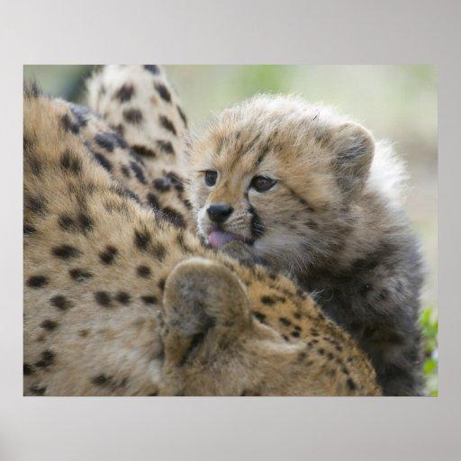 Guepardo Cub con la mamá Posters