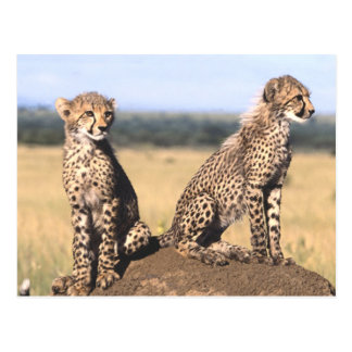 Guepardo Cubs Postales