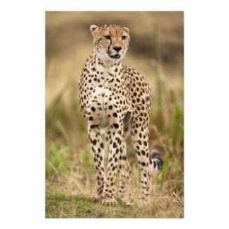 Guepardo, jubatus del Acinonyx, en el Masai Mara Impresiones Fotográficas