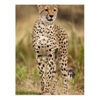 Guepardo, jubatus del Acinonyx, en el Masai Mara Postal