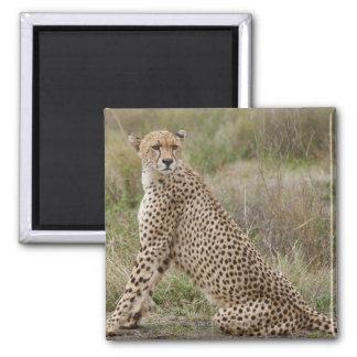 guepardo masculino, jubatus del Acinonyx, Imán Cuadrado