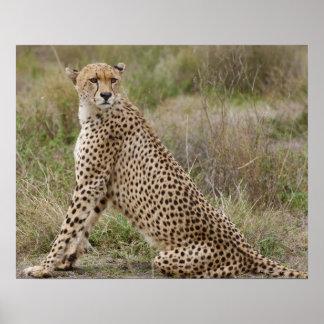 guepardo masculino, jubatus del Acinonyx, Serenget Póster