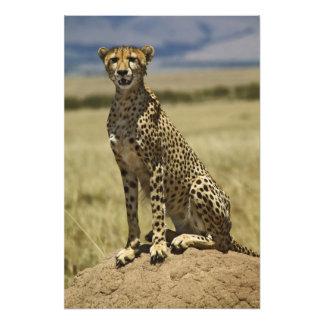Guepardo que descansa, jubatus del Acinonyx, Masai Foto