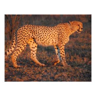 Guepardo Suráfrica en la puesta del sol Tarjeton