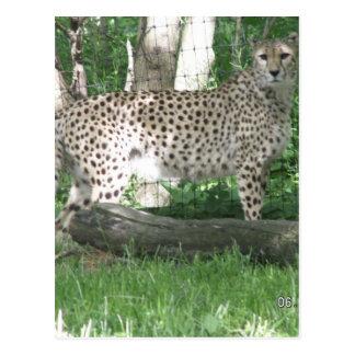 guepardo postales