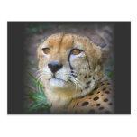 guepardo tarjetas postales