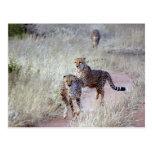 Guepardos en Namibia Postales