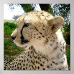 Guepardos salvajes africanos de los gatos del safa impresiones