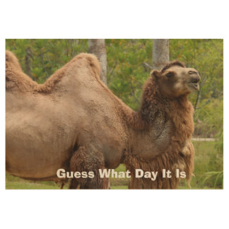 Guess What Day Camel Funny Quote 29x19 Wood Poster