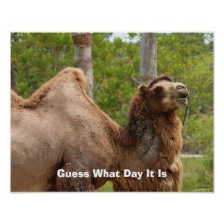 Guess What Day It Is Camel Funny Quote 14x11 Poster