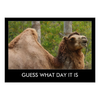 Guess What Day It Is Camel Funny Quote 28x20 Poster