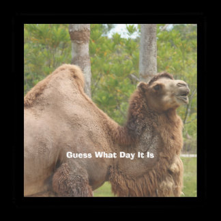 Guess What Day It Is Camel Funny Quote Acrylic Tray