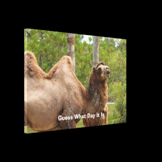 Guess What Day It Is Camel Funny Quote Canvas Print