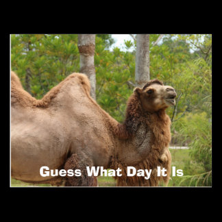 Guess What Day It Is Camel Funny Quote Postcard