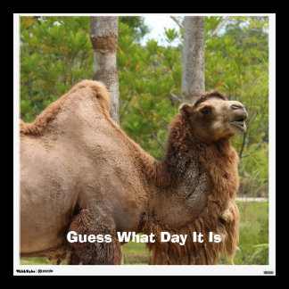 Guess What Day It Is Camel Funny Quote Wall Sticker