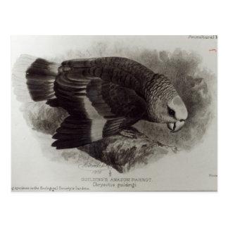 Guilding's Amazon Parrot Postcard