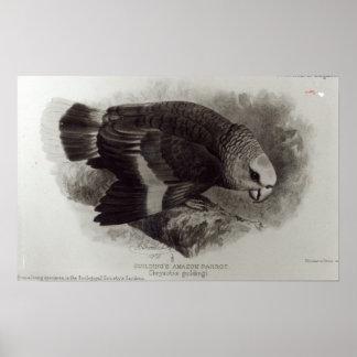 Guilding's Amazon Parrot Poster
