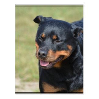 Guileless Rottweiler Postcard