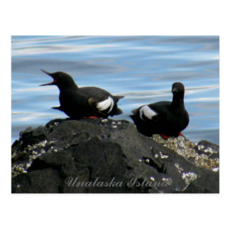Guillemots en una roca, isla de Unalaska Tarjetas Postales